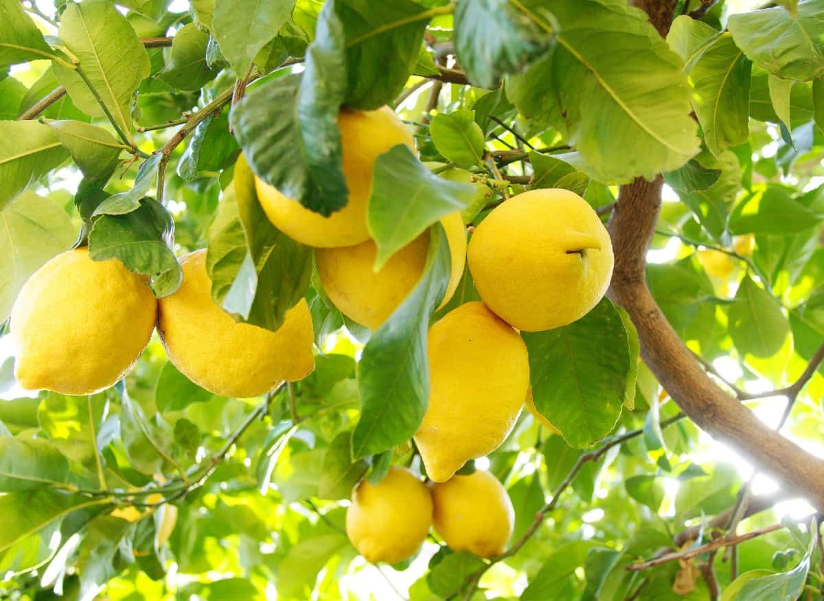 Lemon trees are easy citrus plants to grow in containers.