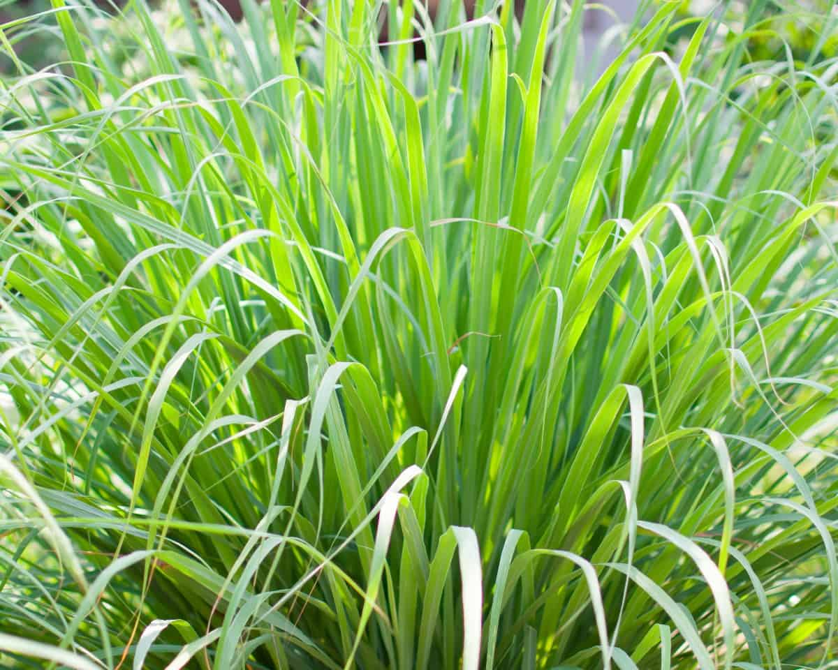 Repel mosquitoes and other pests poolside by planting lemongrass.