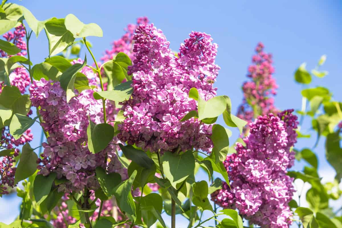 Lilacs are members of the olive family.