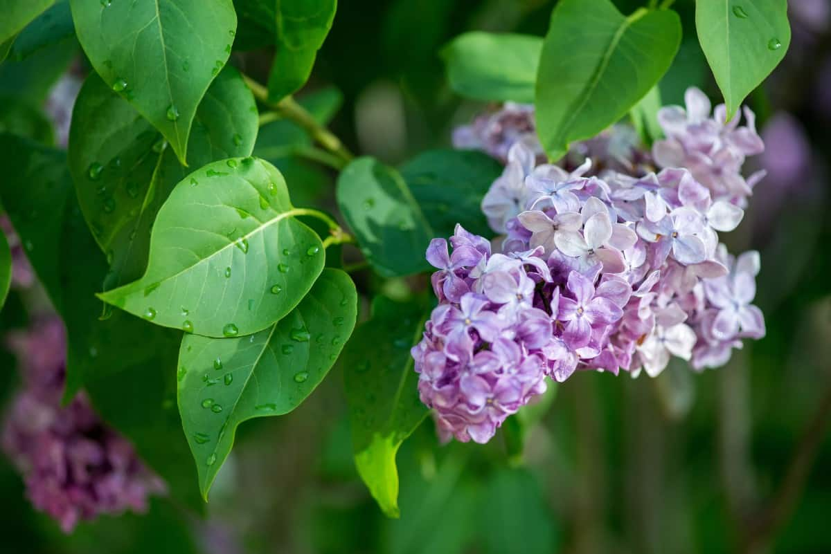 Lilacs have a fabulous smell.