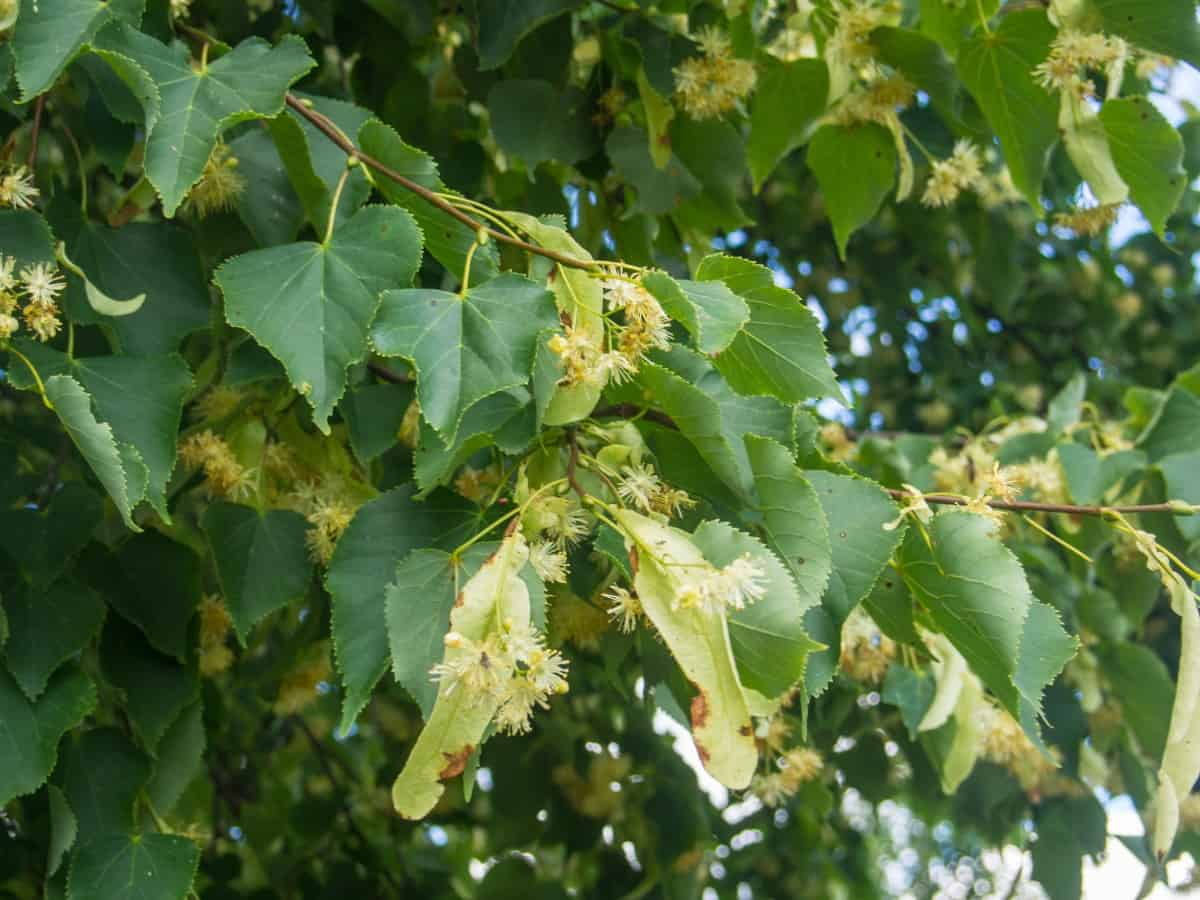 Little-leaf linden trees have an appealing teardrop shape.