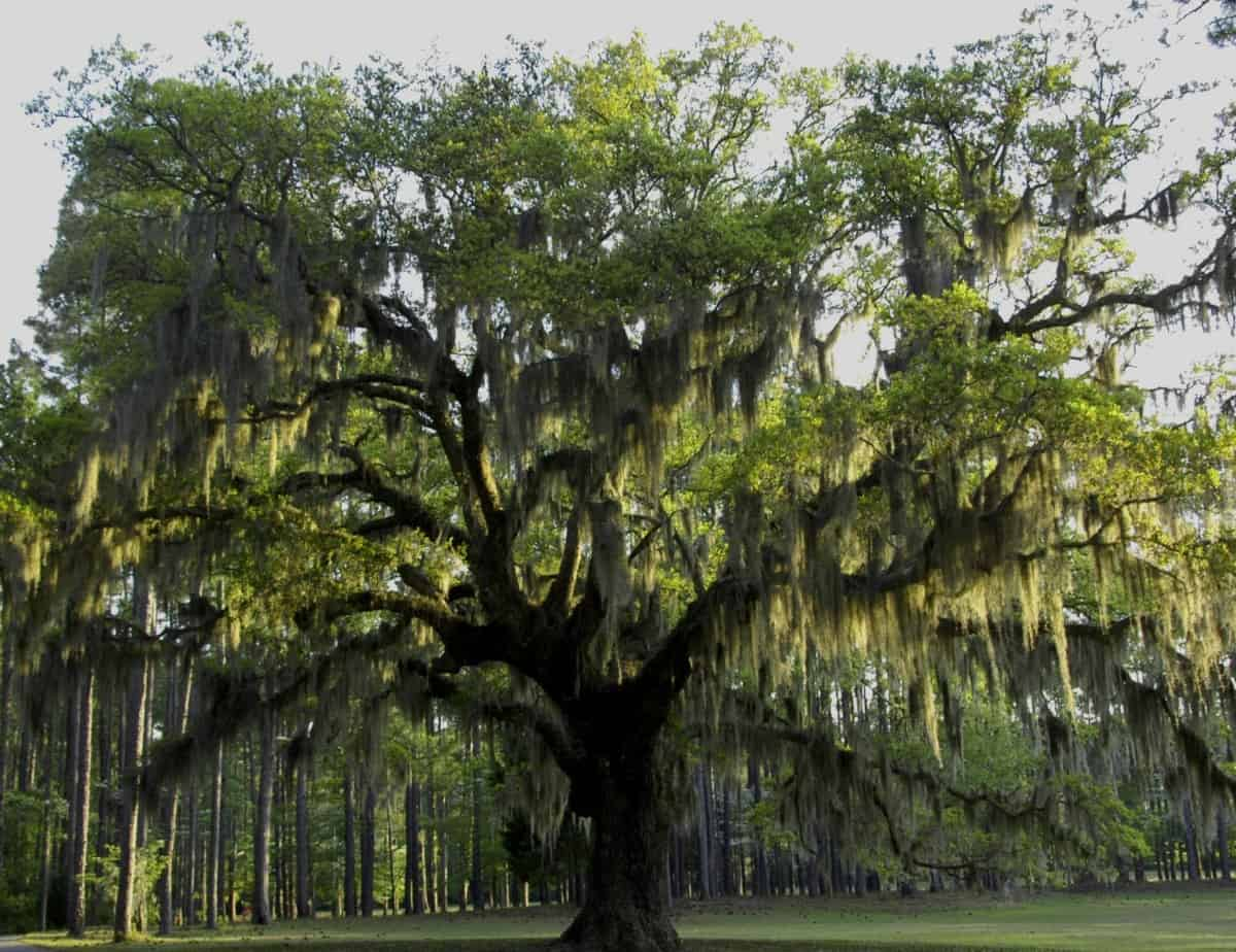 Live oak trees are popular choices for the beach.