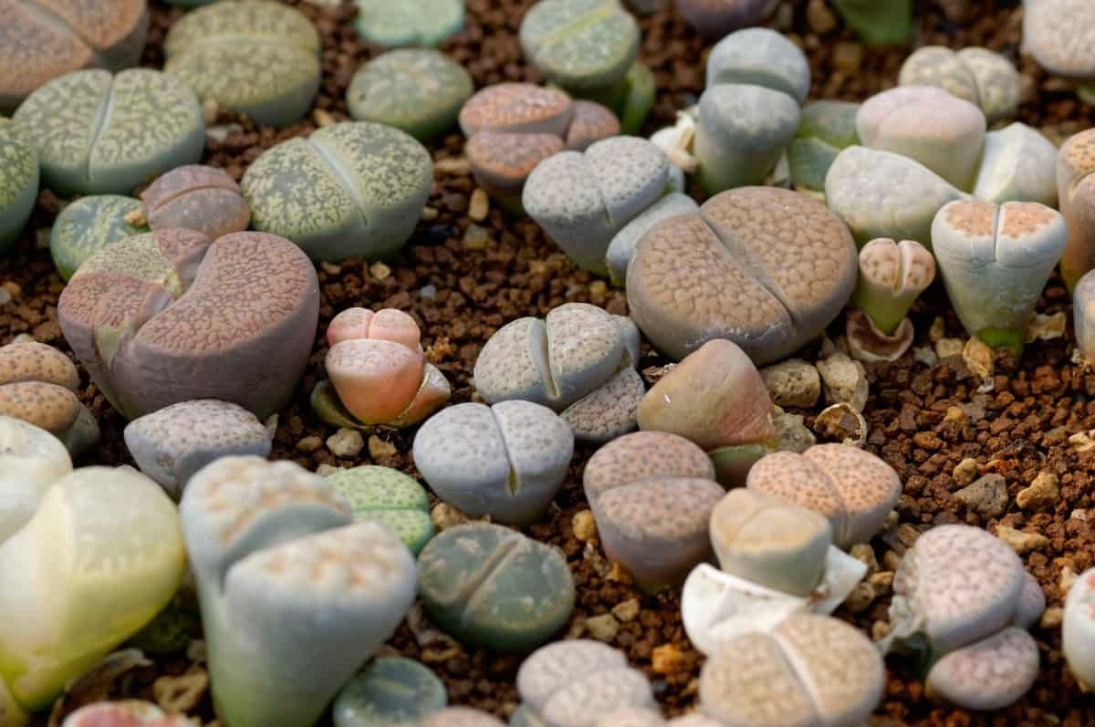 Living stone is an unusual plant that looks like pebbles.
