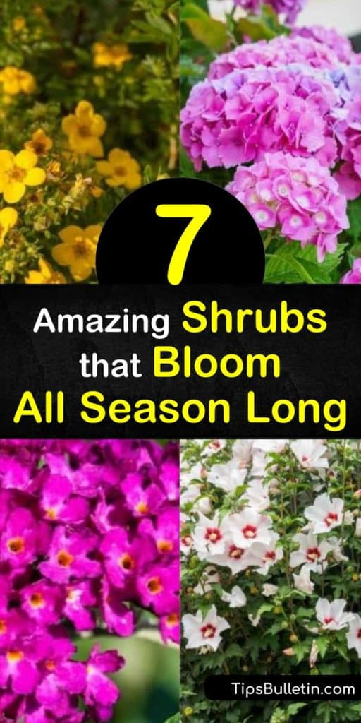 Discover flowering shrubs that fill a garden with uninterrupted blooms after pruning in early spring. From potentilla in late spring and abelia in early summer to rose of Sharon in the fall, plant hardy shrubs that tolerate full sun or partial shade. #shrubs #floweringshrubs #long #blooming