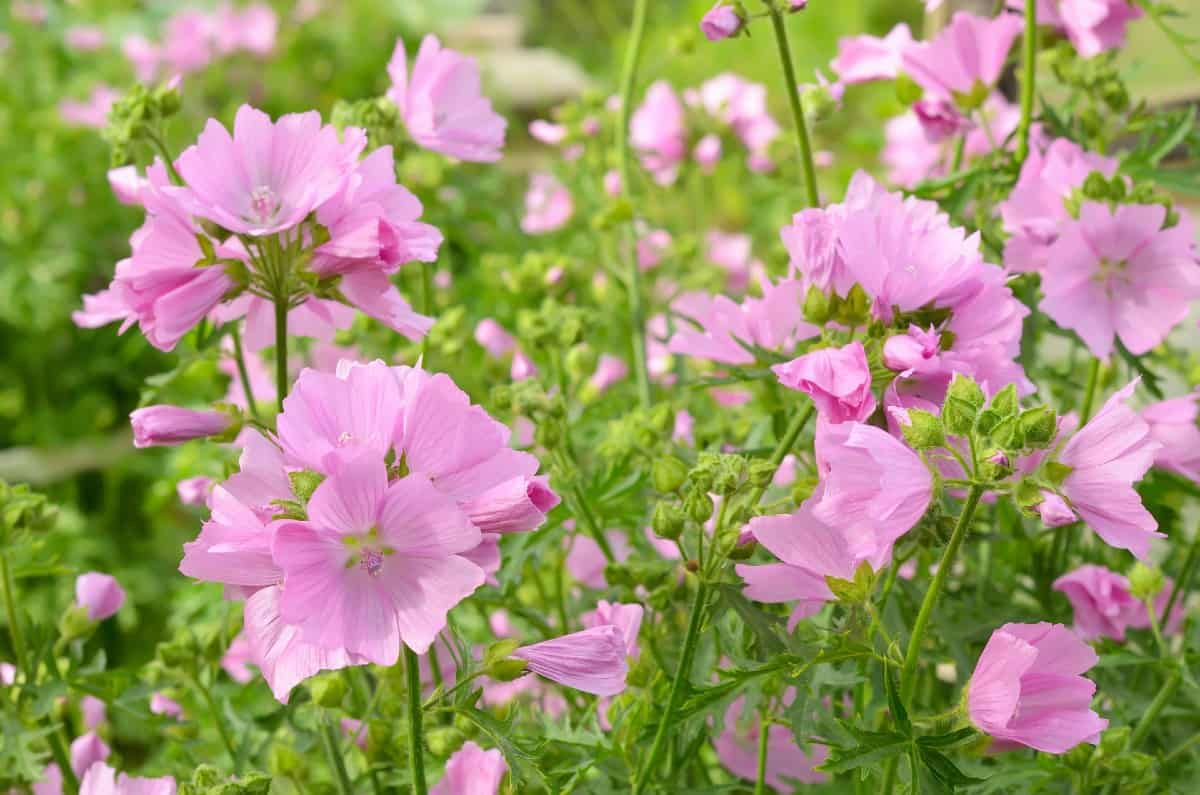 Mallow plants are short-lived perennials.