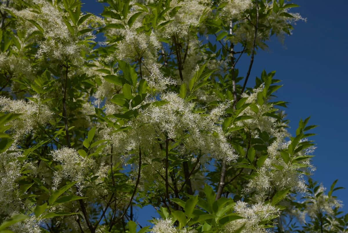The manna ash is drought-tolerant and grows to be quite tall.