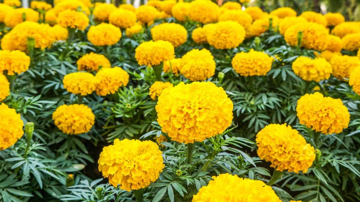 Mexican marigolds tolerate the sun and heat quite well.