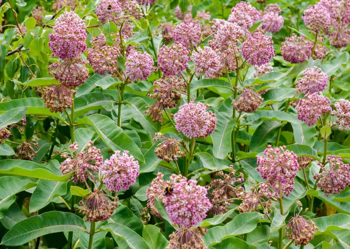 Milkweed is the sole food source for monarch caterpillars.