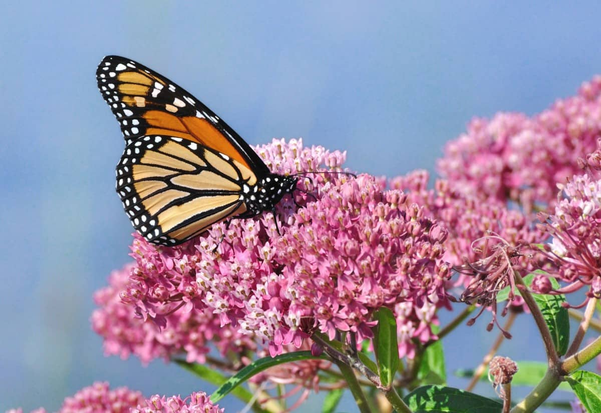 Milkweed is a popular plant that attracts butterflies and other insects that birds like to eat.