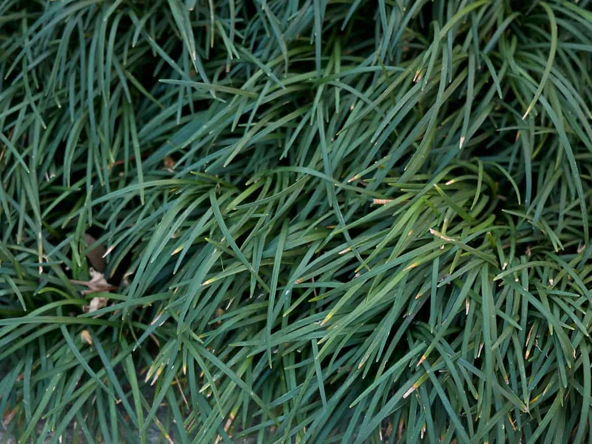 Mondo grass is an excellent alternative to a traditional lawn and it doesn't require mowing.