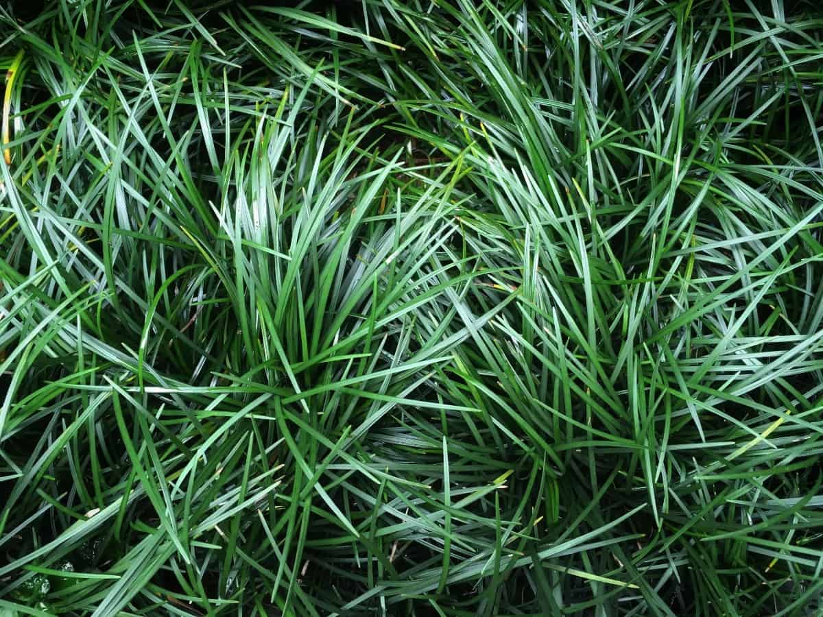 Mondo grass is a low-maintenance plant that looks nice beside pavers.