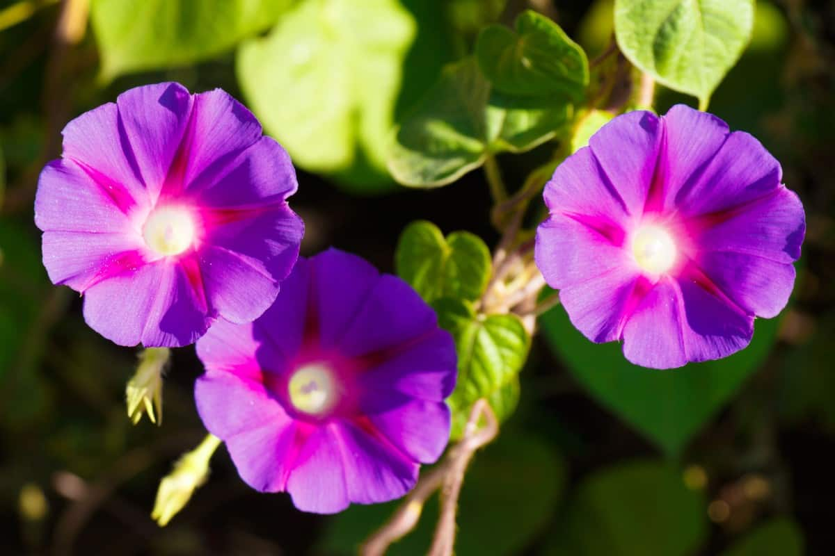 Morning glories are vining plants that do well in a pot or climbing a trellis.