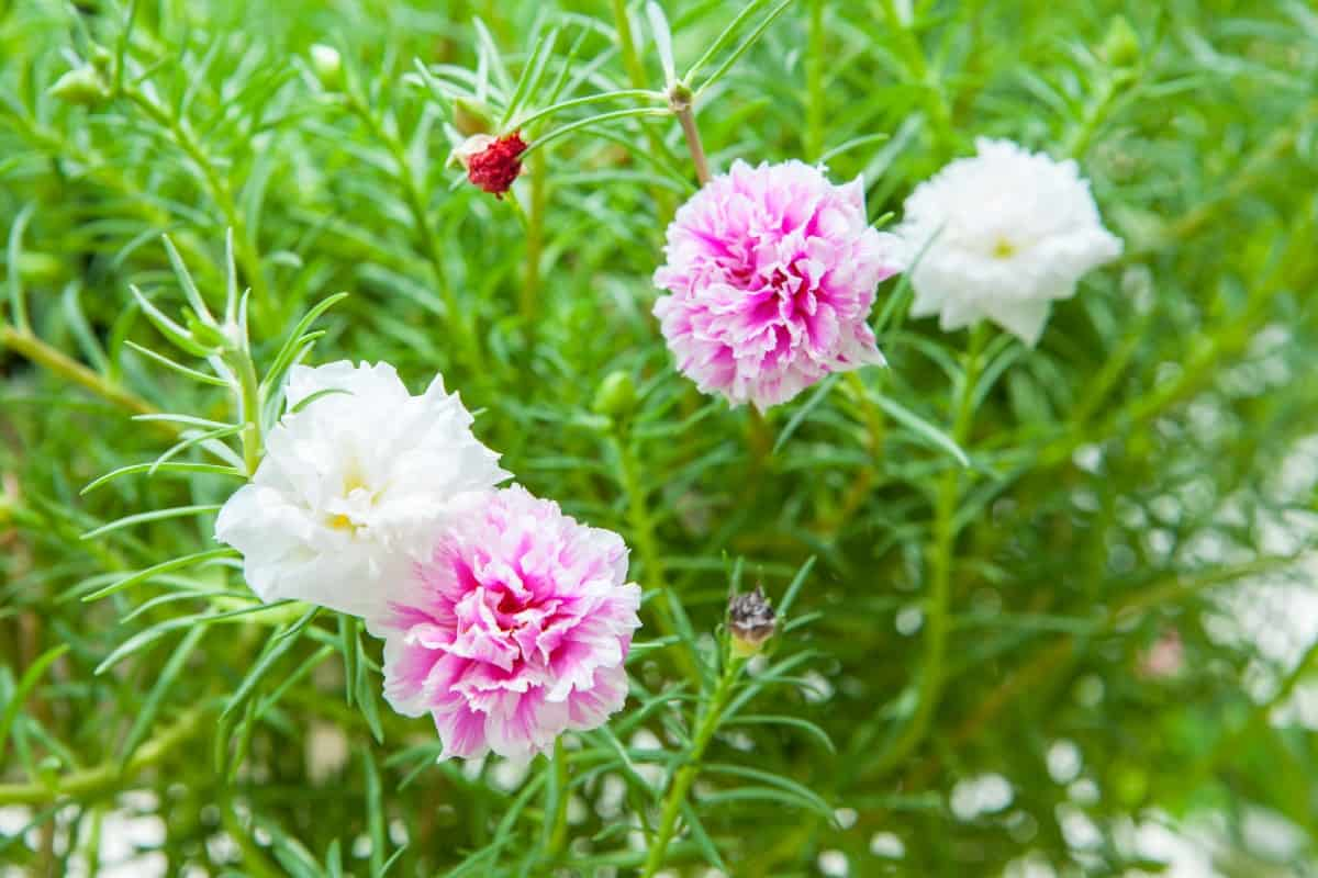 Grow some moss roses for a low maintenance beauty.