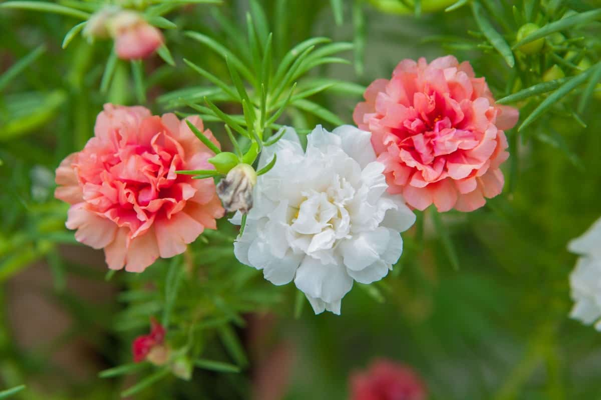 Moss roses are drought-tolerant ground cover plants.