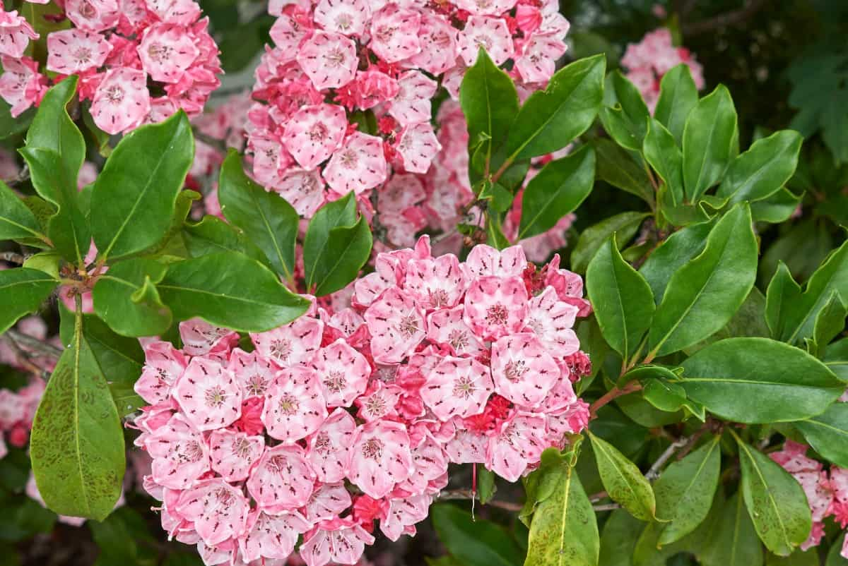 Mountain laurel bushes have unique flowers that add beauty to any landscape.