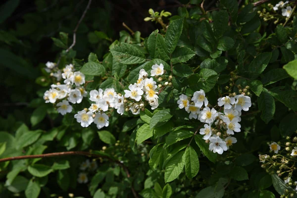 The multiflora rose is an invasive shrub that spreads fast.