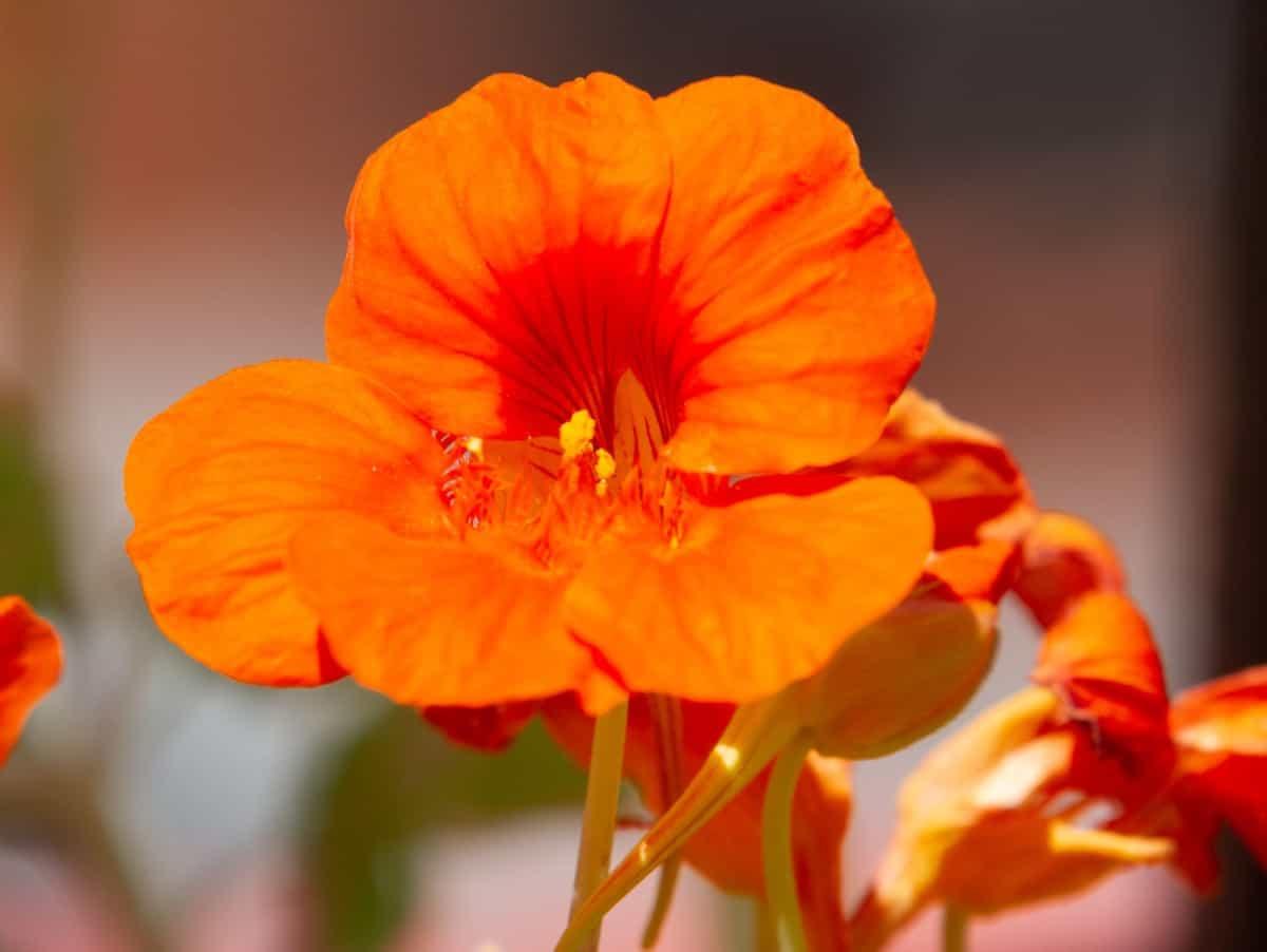 Nasturtium leaves and flowers are edible.