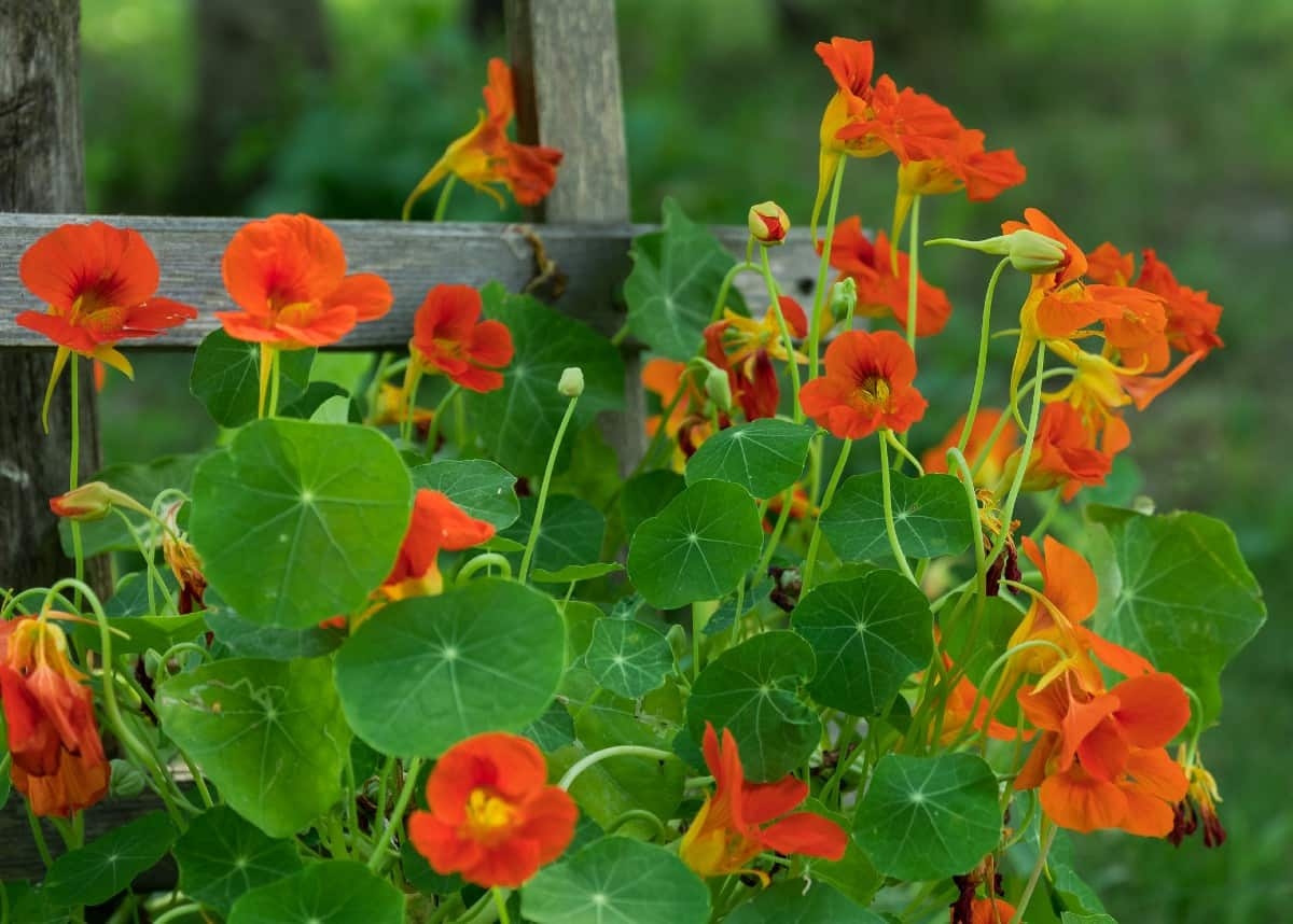 Nasturtiums are plants with edible flowers and leaves.