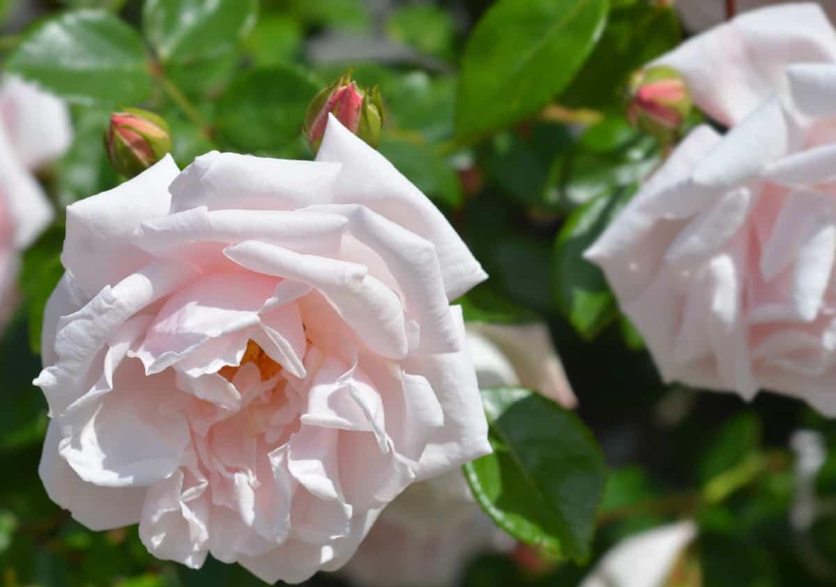 The New Dawn rose has sharp thorns.