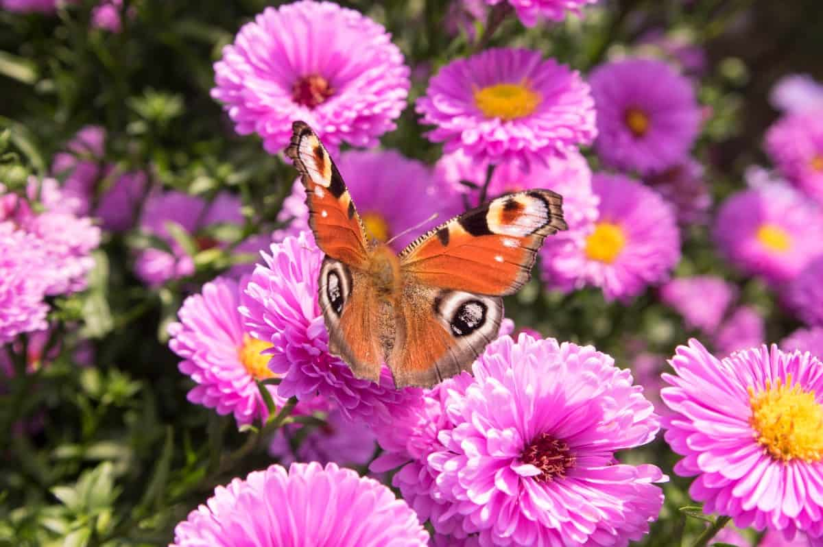 Plant New England asters for fall blooms.