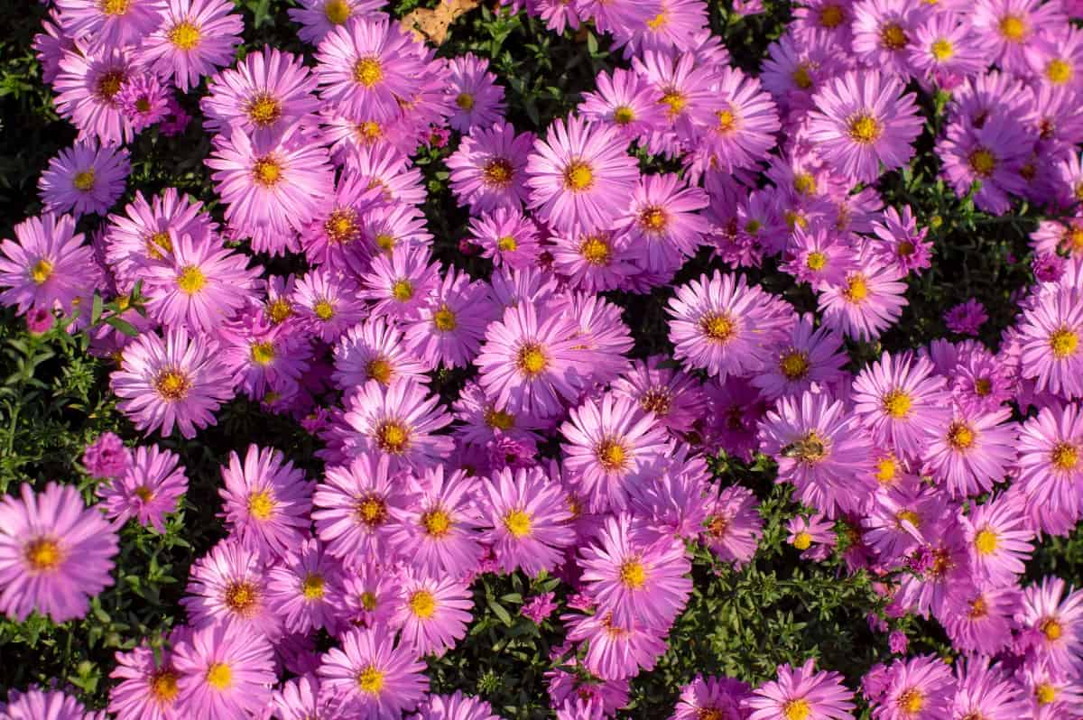 New England asters are late bloomers - from August to October.