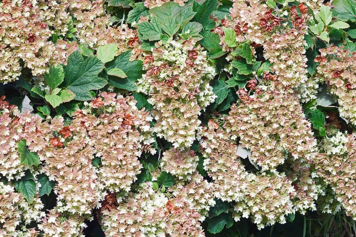 Oakleaf hydrangeas are highly adaptable evergreen plants.