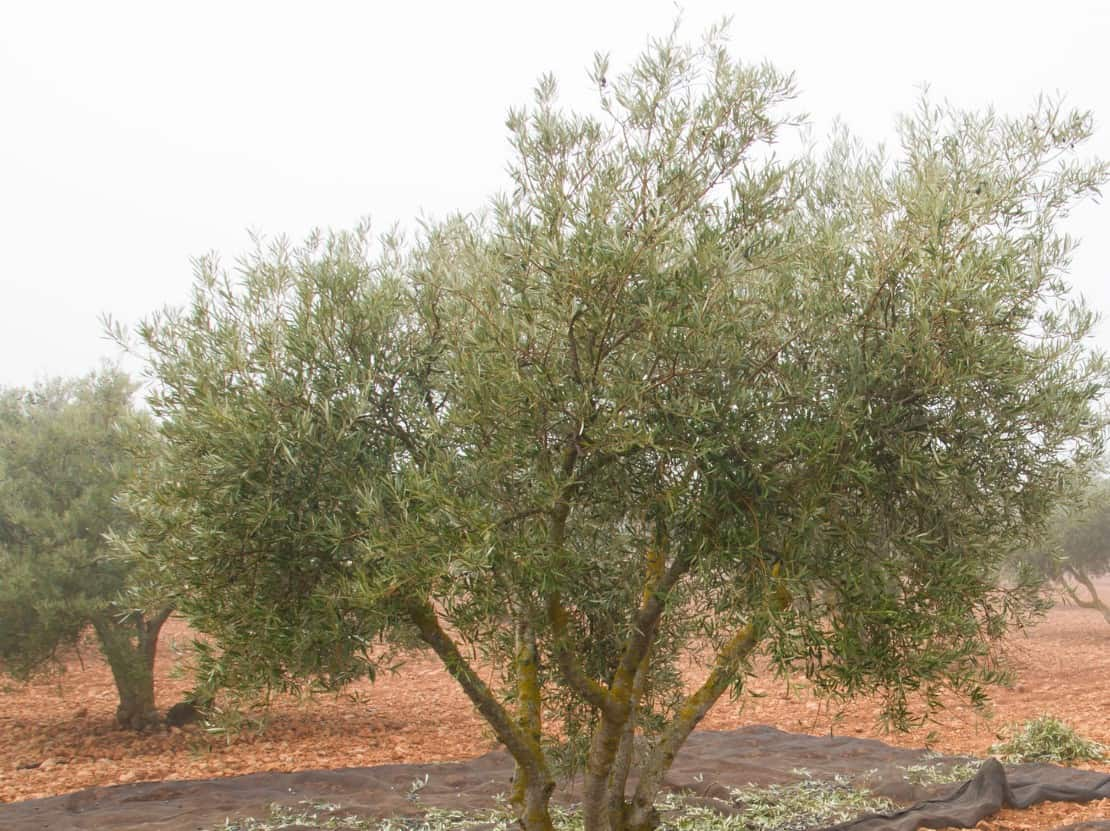 Olive trees can live for years in containers.