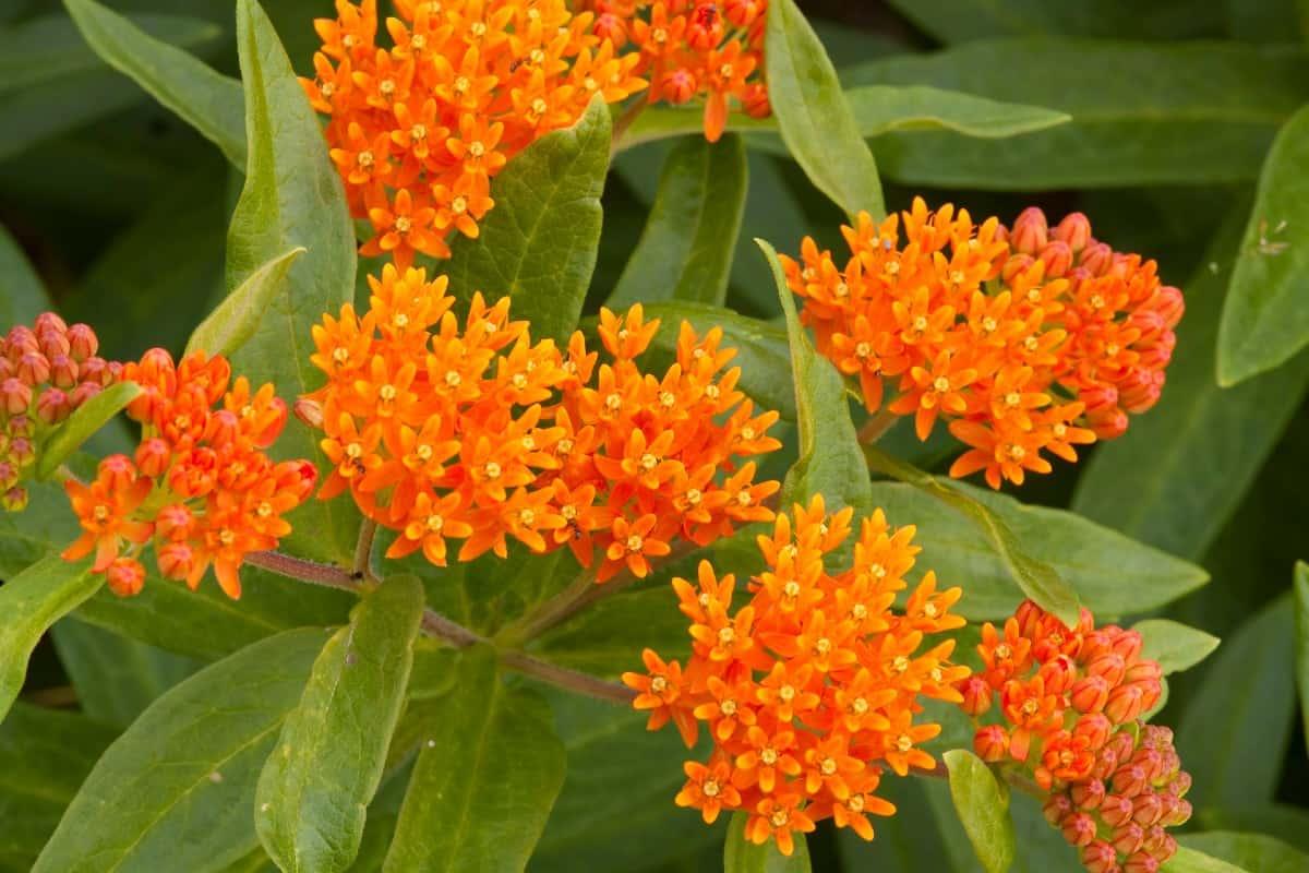 Monarchs love orange milkweed or butterfly weed.