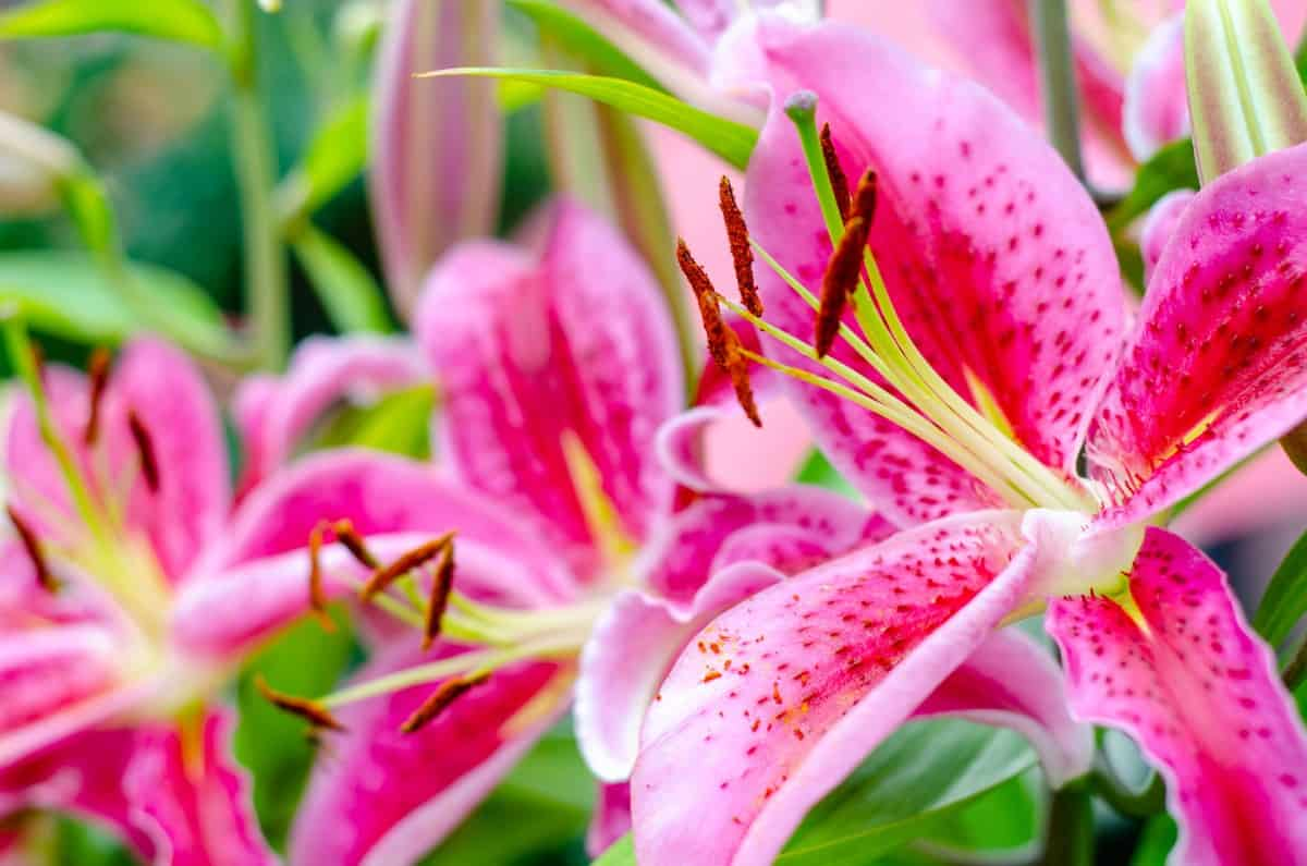 Oriental lilies are the fourth most popular flower across the world.