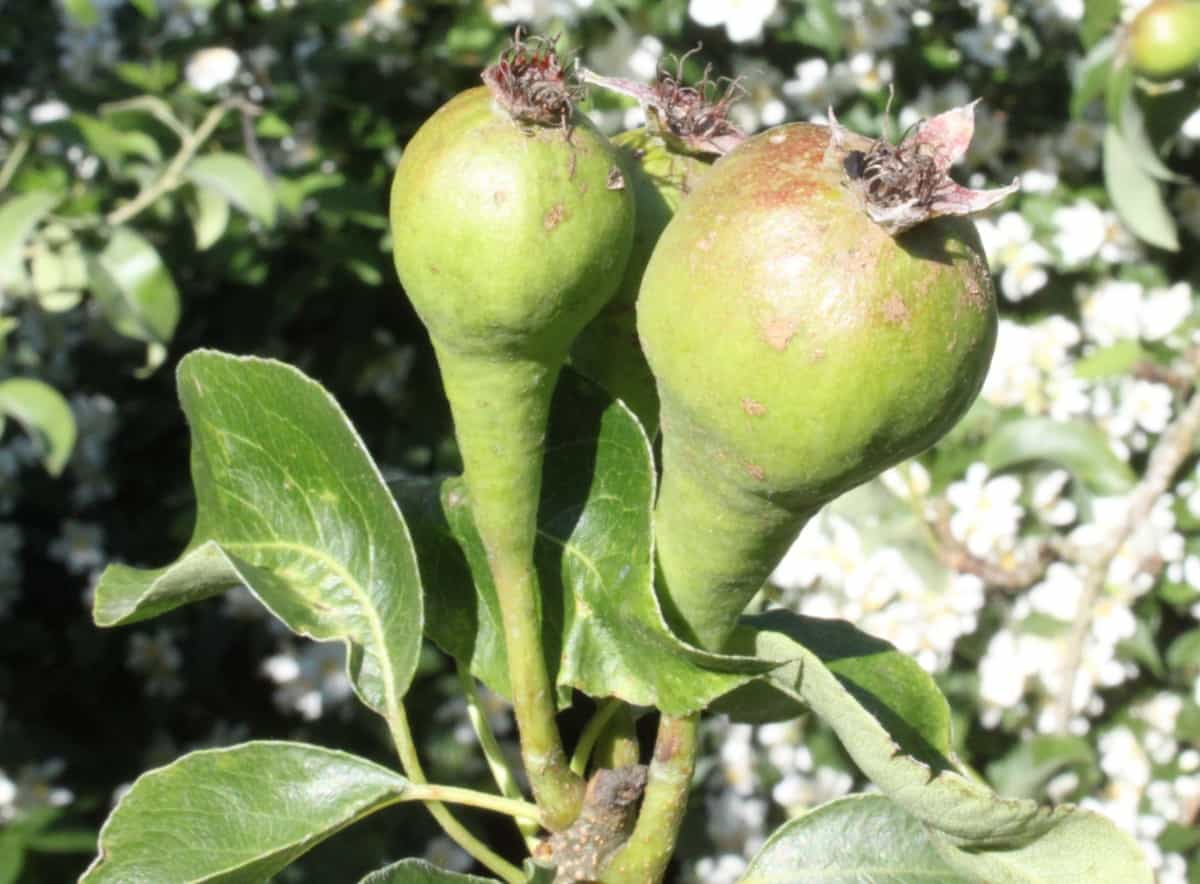 Plant two ornamental pear trees for cross-pollination and a delicious crop of pears.