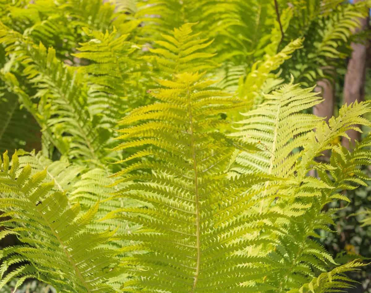 The ostrich fern is a tall, sun-loving plant.