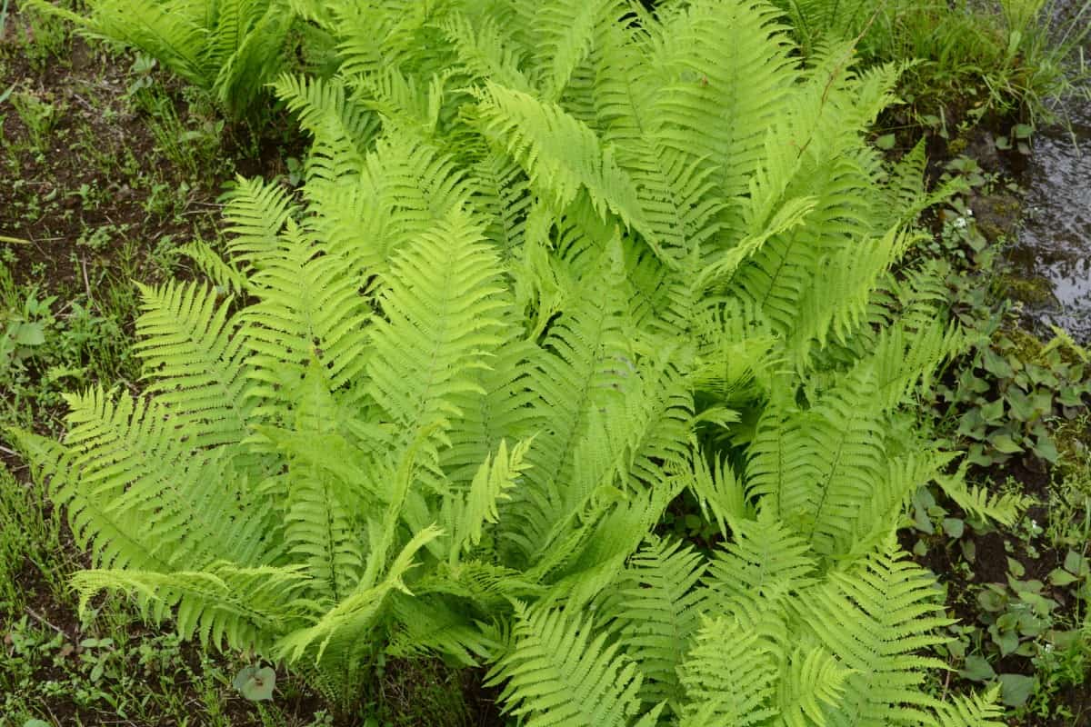 Ostrich ferns have attractive plumes.
