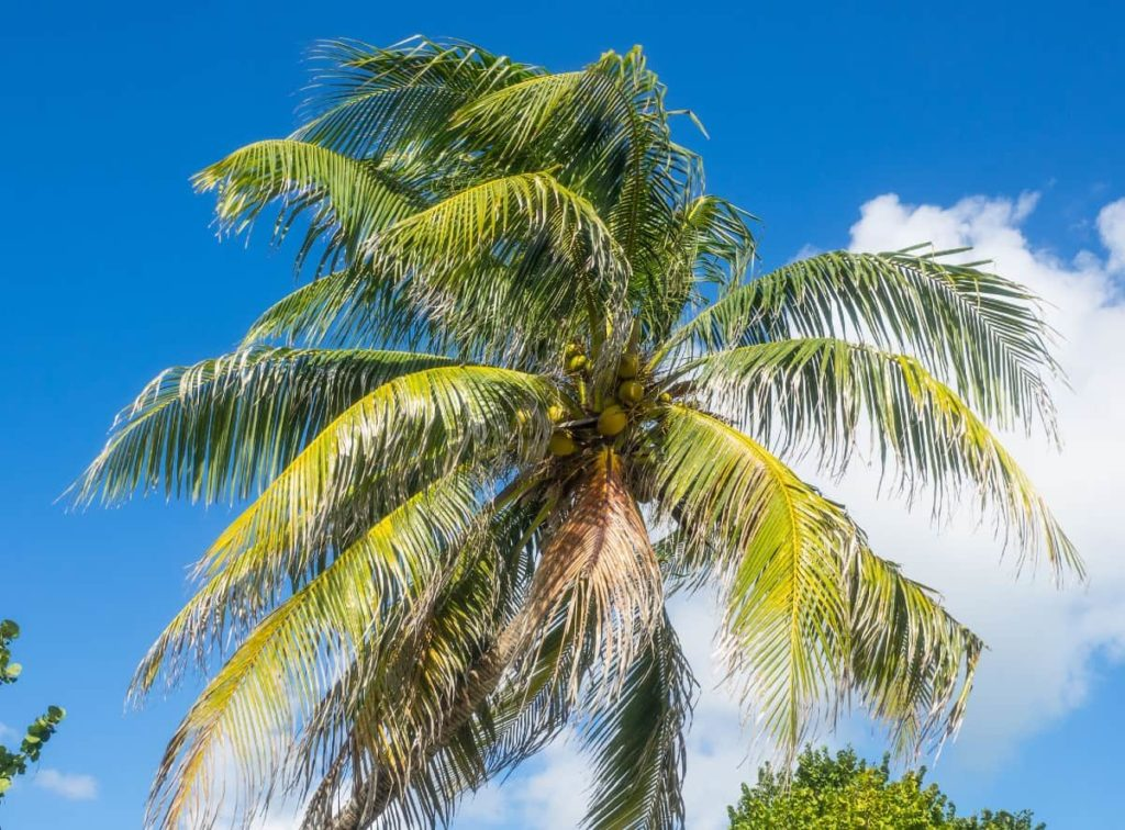 A palm tree is the perfect shady shrub for the poolside.