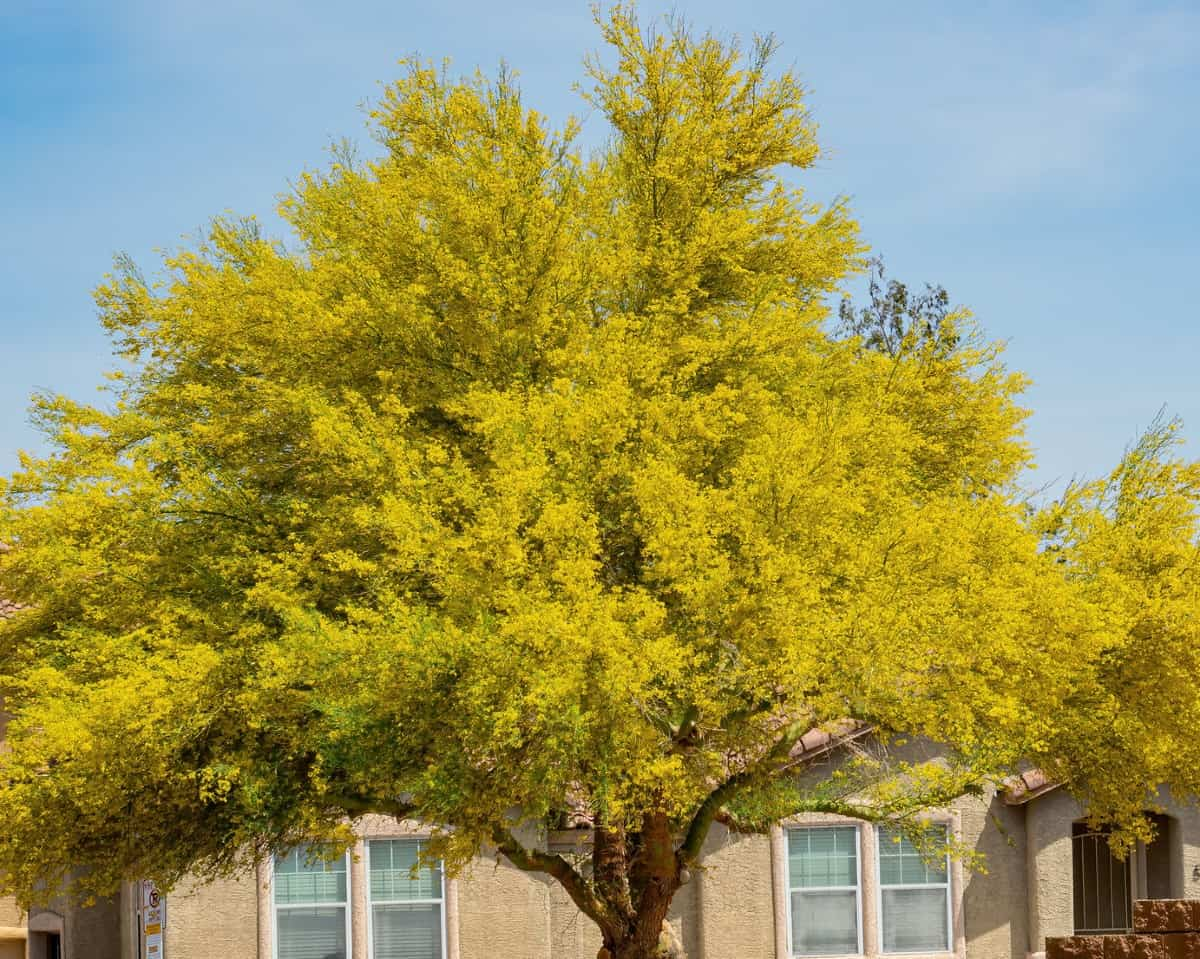 Palo verde trees are highly drought-tolerant.