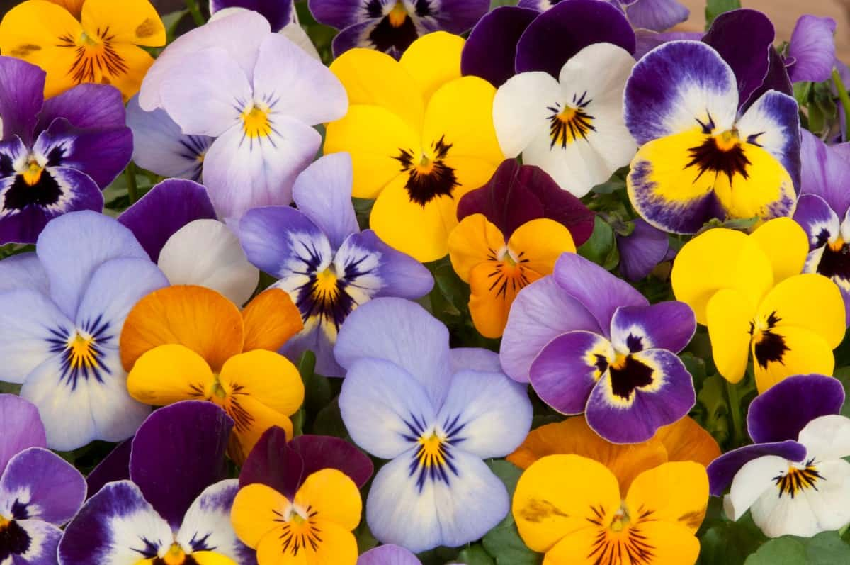 Pansies come in a variety of bright cheerful colors.
