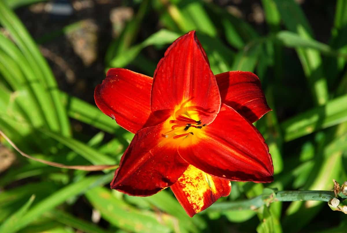 Pardon Me daylily reblooms with brilliant burgundy-red flowers.