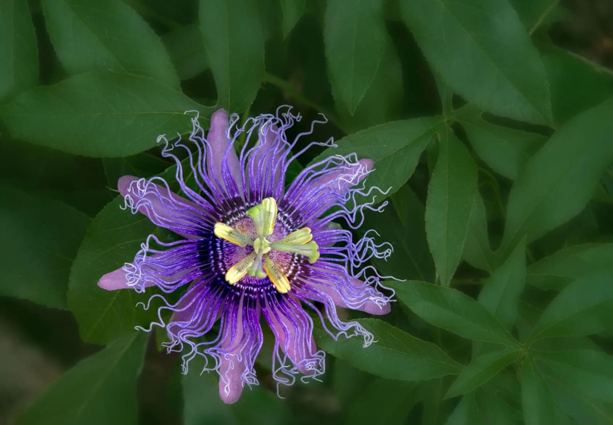Passionflower is a butterfly host plant vine.