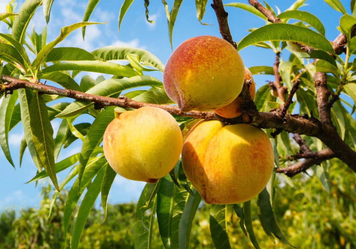Peach trees need a lot of sun for a bumper crop.