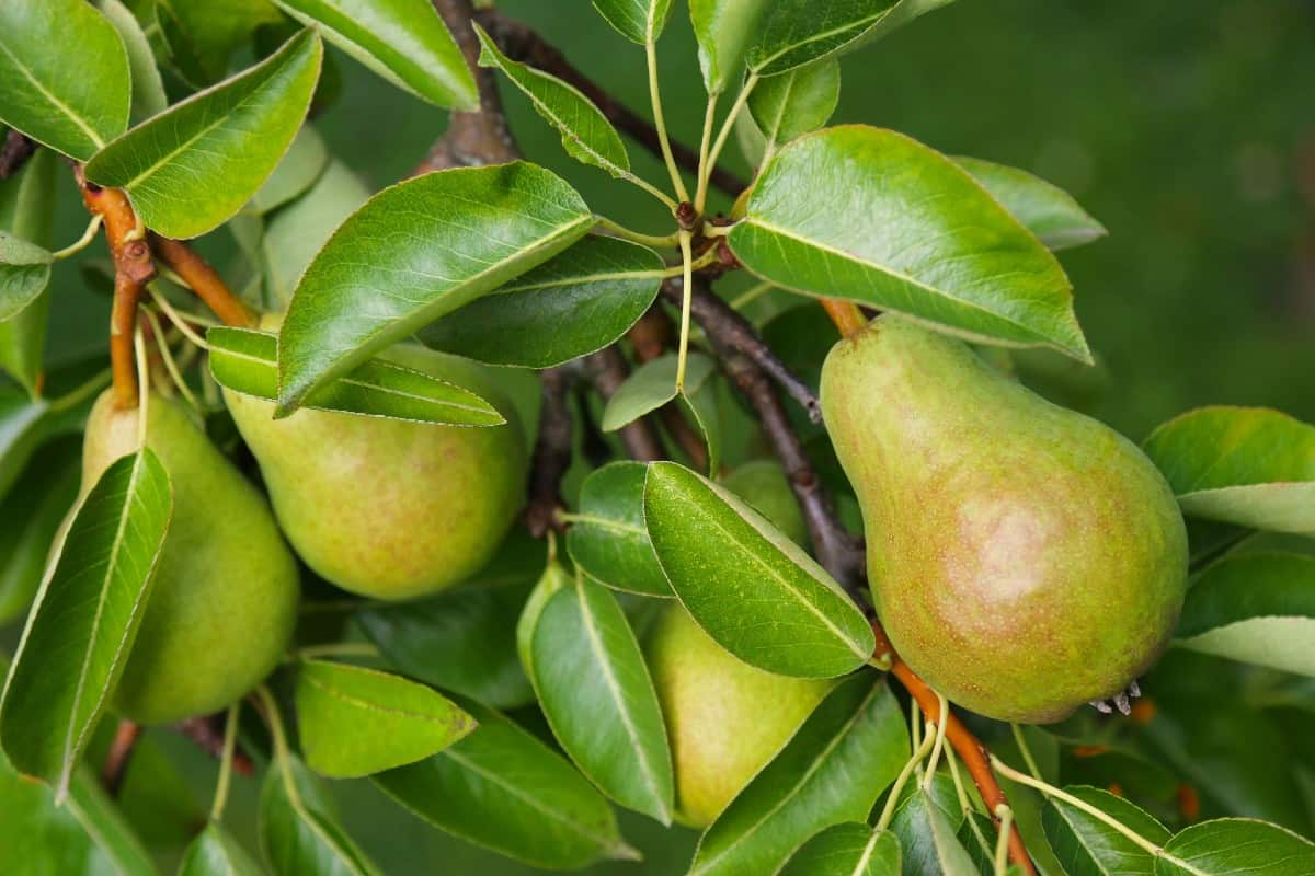 Pear trees are easy to grow and bear fruit quickly.