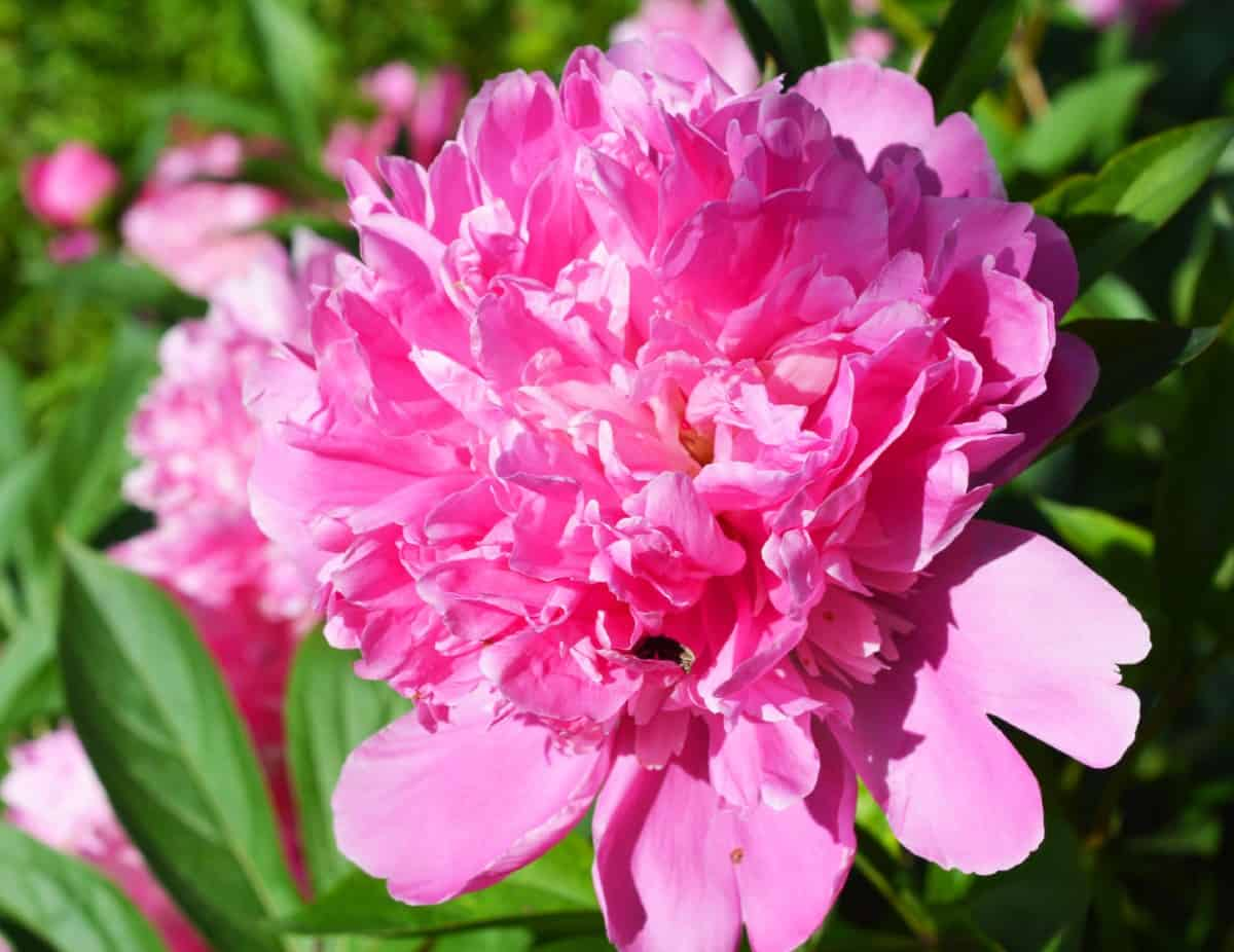Many gardeners plant peonies for their delightful scent.