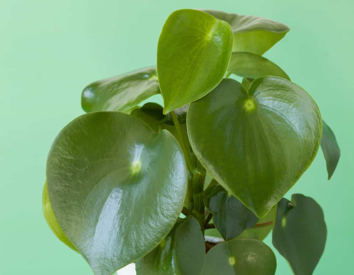 An easy growing plant, peperomia has poisonous leaves.