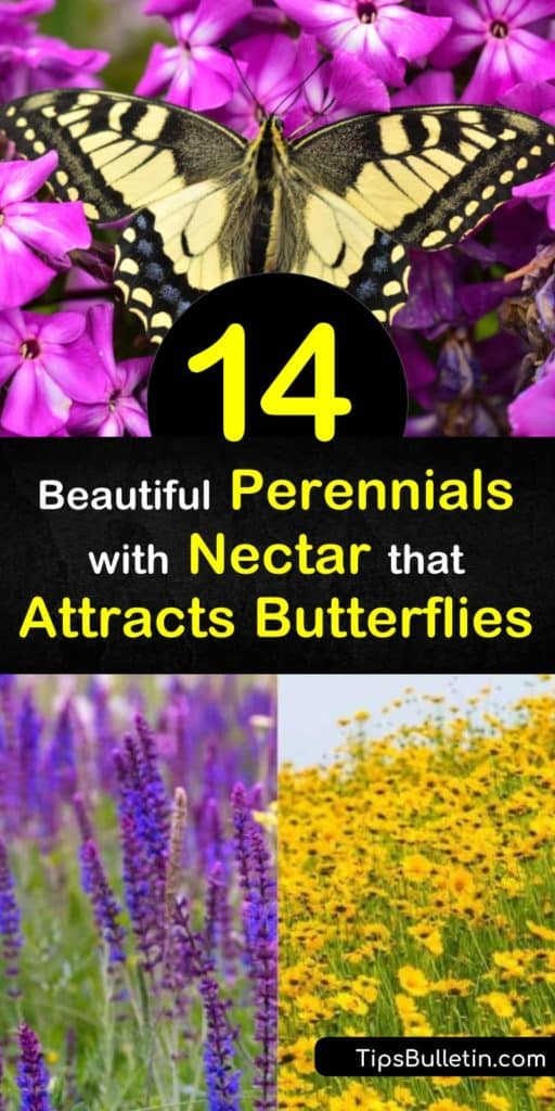 Host plants, such as milkweed, provide a food source for caterpillars. Nectar plants, such as aster, salvia, and butterfly bush work to attract the butterflies. Learn how to use both to create your butterfly garden. #plants #perennials #butterflies #attractingbutterflies