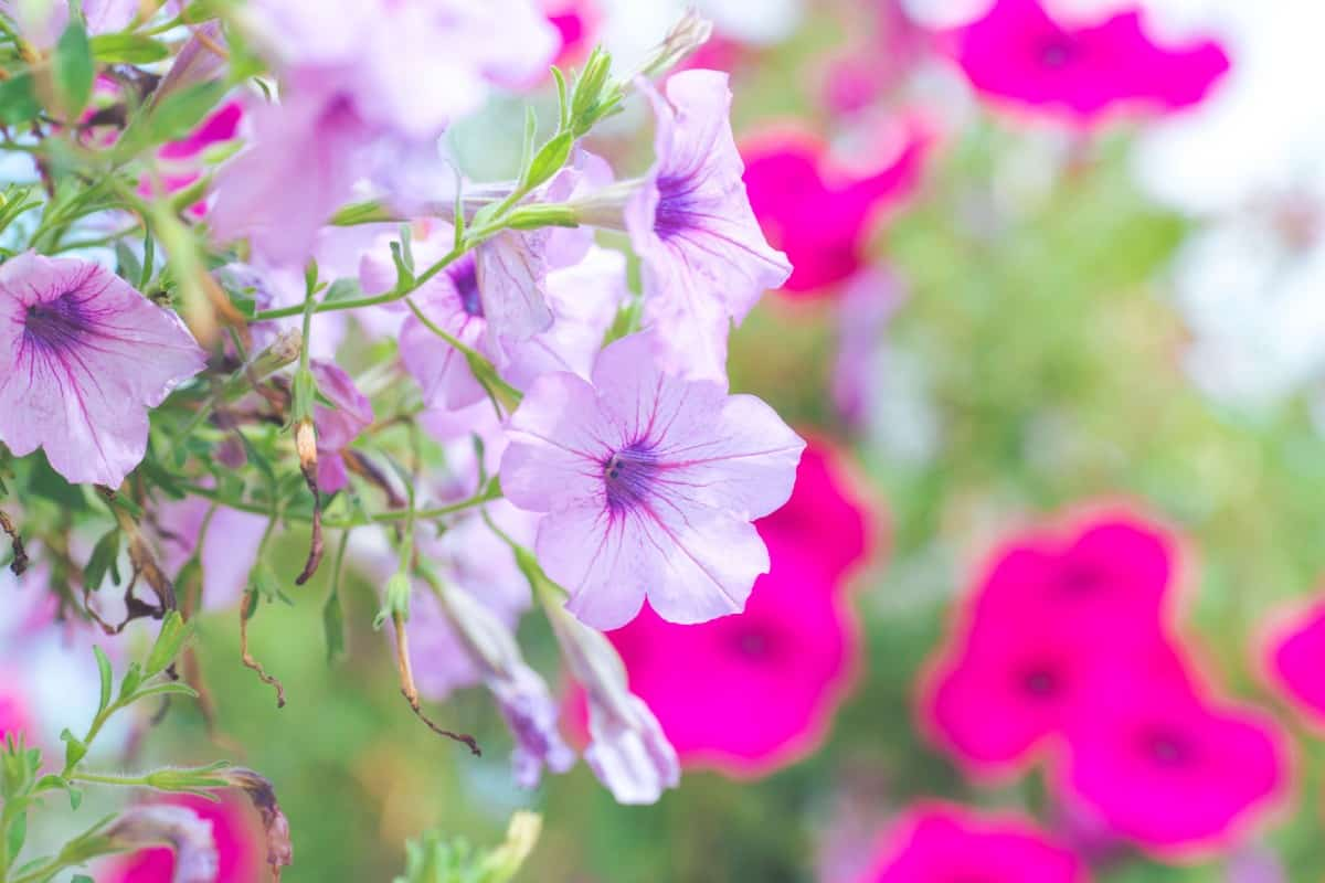 Petunias are popular potted flowers.