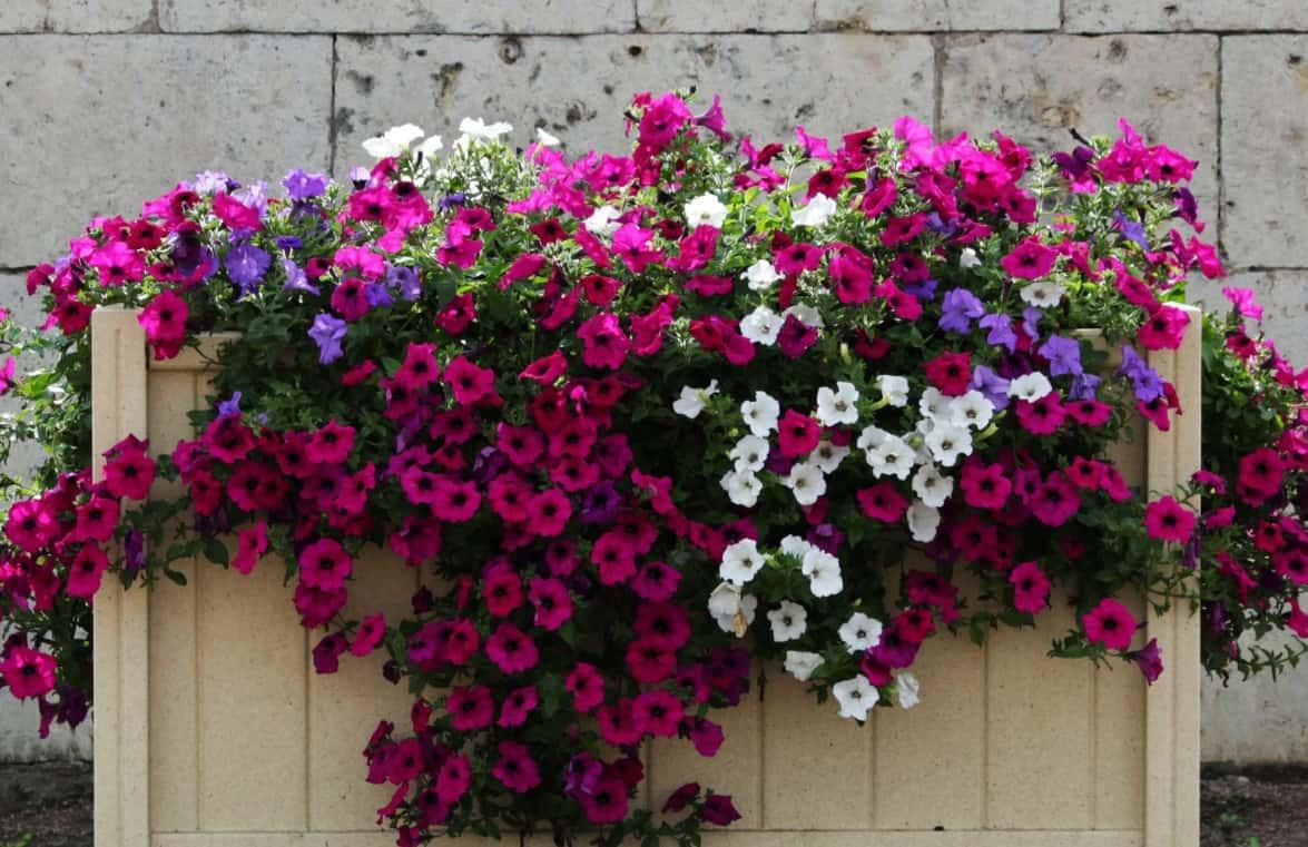 Petunias are popular heat loving annual plants.
