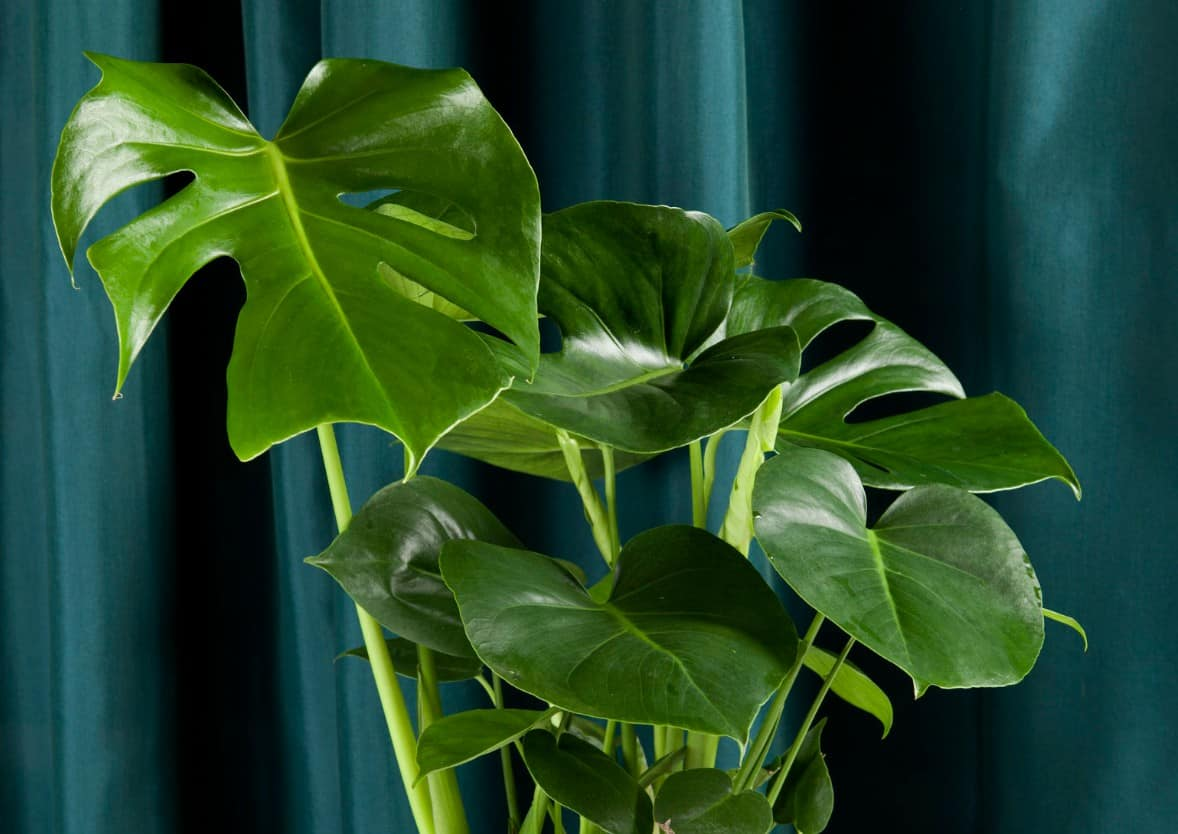 There are many varieties of the popular philodendron plant.
