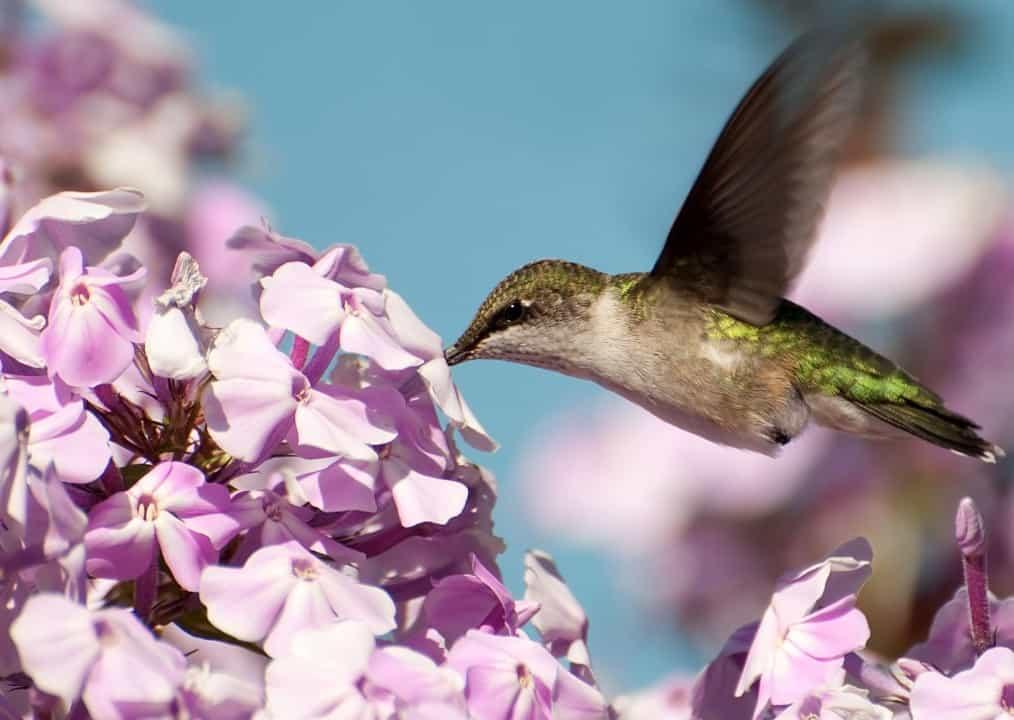 Tall garden phlox is a drought-tolerant garden perennial.