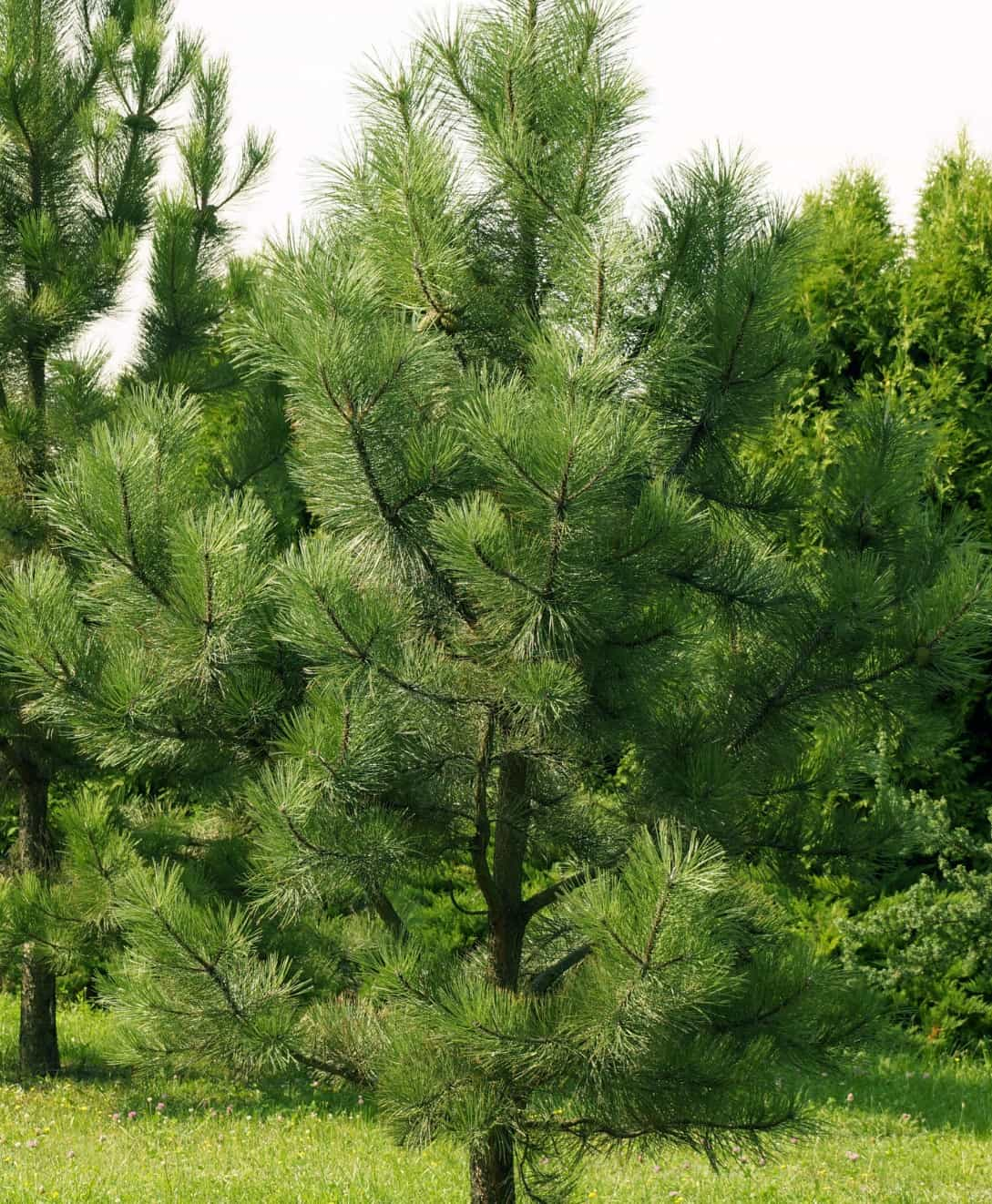 Pine trees provide color all year long.