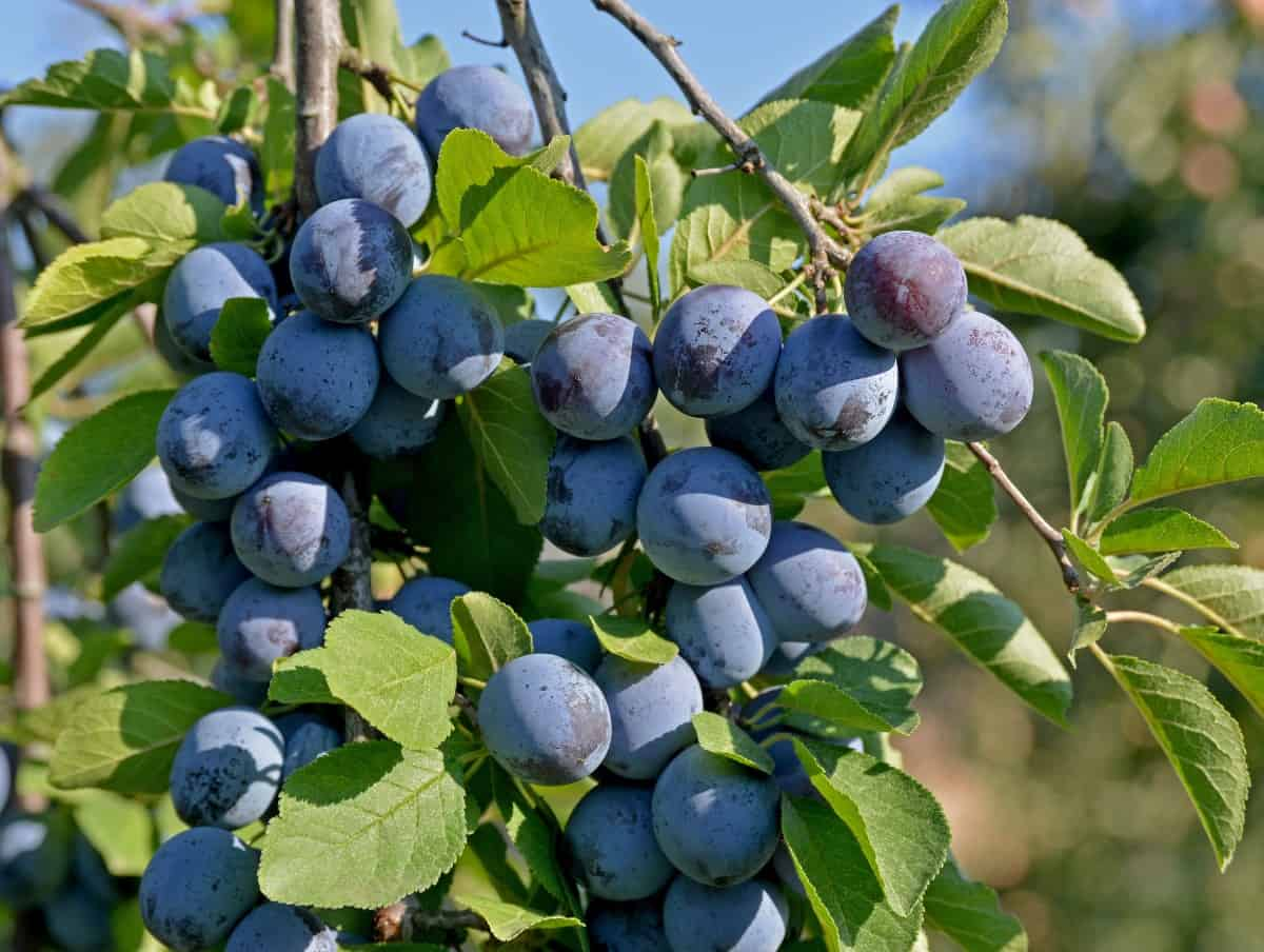 Plum trees have a long harvest time.