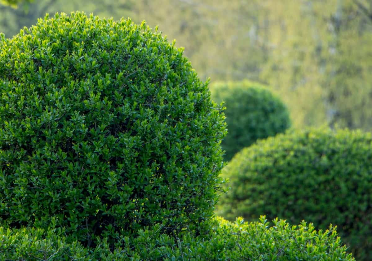 You can easily train a privet into a topiary in a container.