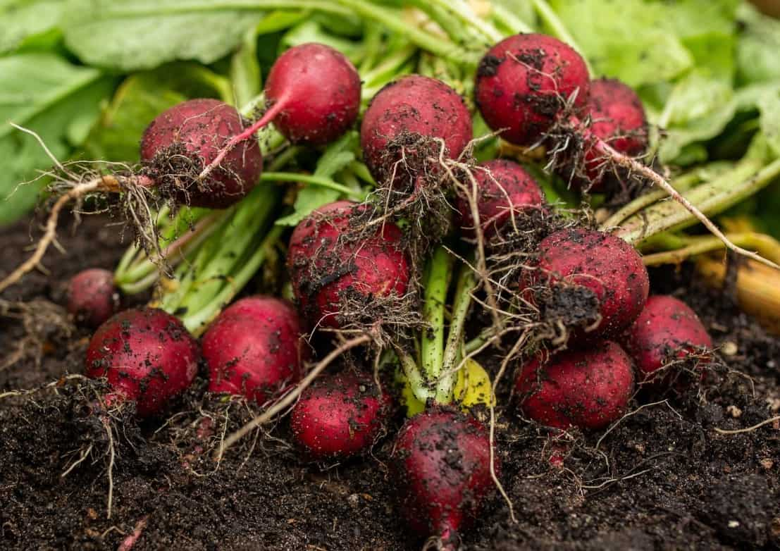 Radishes are so easy to grow that from planting the seeds to harvest it only takes three weeks.